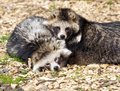 Racoon Dogs Royalty Free Stock Photo