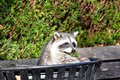 Image : A racoon poking its head out of a trash can. eyes  kitten