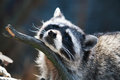 Racoon portrait closeup of relaxation on dark background Stock Images