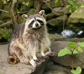 Racoon sitting on stones Royalty Free Stock Images
