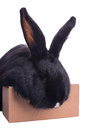 Racy dwarf black bunny isolated on white background studio photo Royalty Free Stock Image