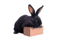 Racy dwarf black bunny Royalty Free Stock Photo