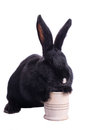 Racy dwarf black bunny isolated on white background studio photo Stock Photos
