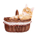 Rad cat sitting in the bascket kitten on a white background Stock Photo