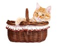Rad cat sitting in the bascket kitten on a white background Royalty Free Stock Images