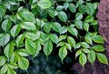 Radermachera sinica, Emerald Tree, Serpent Tree Royalty Free Stock Photo
