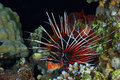 Radial firefish at night lionfish pterois radiata in the red sea egypt Stock Photo