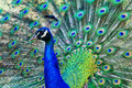 Radiant peacock in full plumage close up of a showing off his colors Stock Images