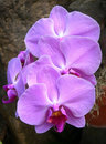 Radiant pink orchids closeup on hot in bloom Royalty Free Stock Photography