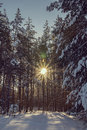 Radiant sun in the winter woods on a cold day Royalty Free Stock Photos
