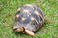 The radiated tortoise Stock Images