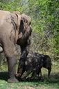 Radio GPS Collared Elephant Royalty Free Stock Photo