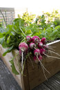 Radish from biological garde cultivated in garden urban setting Stock Images