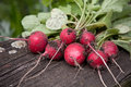 Radish fresh on dark boards Royalty Free Stock Photo