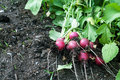Radish on the garden bed laying along side carrots sprouts Stock Photography