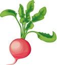 Radish with greens Royalty Free Stock Photo