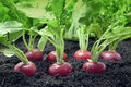 Radish growing in garden Royalty Free Stock Photo