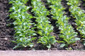 Radish plants rows on the garden bed Stock Image