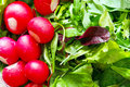 Radish and salad background fresh various leaves Stock Photos