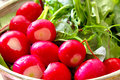 Radish and salad close up fresh various leaves background Royalty Free Stock Images