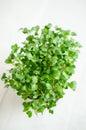 Radish seedlings Royalty Free Stock Photo