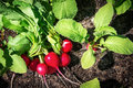 Radishes in the garden Royalty Free Stock Photo
