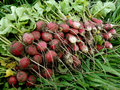 Radishes harvest bunch of fresh harvested Royalty Free Stock Photo