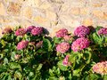raditional pink hydrangea flowers near house wall Royalty Free Stock Photo