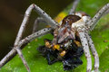 A raft spider with prey - a jumping spider Royalty Free Stock Image