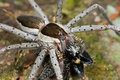 A raft spider with prey - a jumping spider Stock Photo