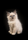 Rag doll baby cat kitten with blue eyes facing the camera sittin Royalty Free Stock Photo