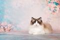 Ragdoll Cat In Flowers