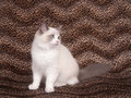 Ragdoll cat and leopard skin Stock Image