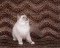 Ragdoll cat and leopard skin Royalty Free Stock Photography