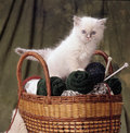 Ragdoll kitten in a basket full of woolen ball shot studio against moss green background Stock Photo