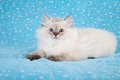 Ragdoll kitten with tiara Stock Image