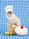 Ragdoll kitten wearing chef outfit Stock Photos