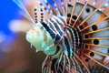 Ragged fin lionfish the detail of Stock Image