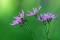 Ragged Robin (Lychnis) Royalty Free Stock Photo