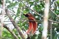 Raggiana Bird-of-paradise Royalty Free Stock Photo
