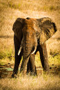 Raging tusker elephant charging to warn not to come close Royalty Free Stock Image