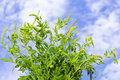 Ragweed plant Stock Images