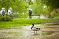 Rain in the city duck park prague Stock Photography