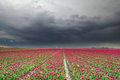 Rain clouds over red tulip field Royalty Free Stock Photo