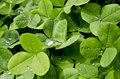 Rain drop on clover Stock Images