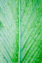 Rain drop on leaf galangal oil Royalty Free Stock Photography