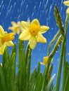 Rain droplets falling down on bunch of fresh daffodils over blue sky Stock Photography