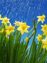 Rain droplets falling down on bunch of fresh daffodils over blue sky Stock Photo
