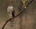 Rain drops cooper s hawk copper juvenile just before dusk late fall in near freezing Royalty Free Stock Images