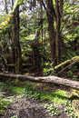Rain forest around Thurston Lava Tube, Big Island, Hawaii Royalty Free Stock Photo